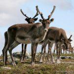 Cosa fanno le renne d'estate e la verità su quelle di Babbo Natale
