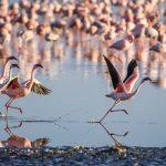 La meraviglia dei fenicotteri rosa e dove incontrarli