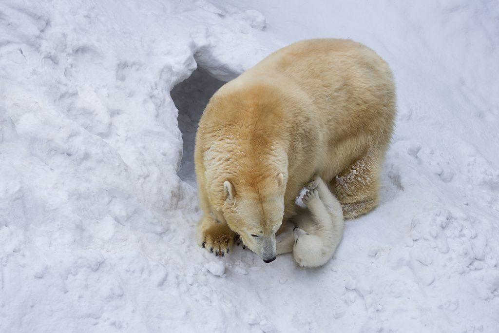Orso polare cucciolo