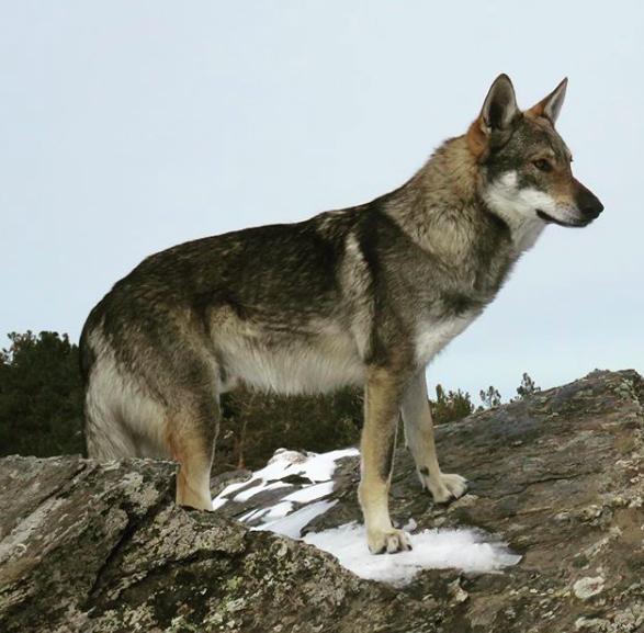 profilo lupo