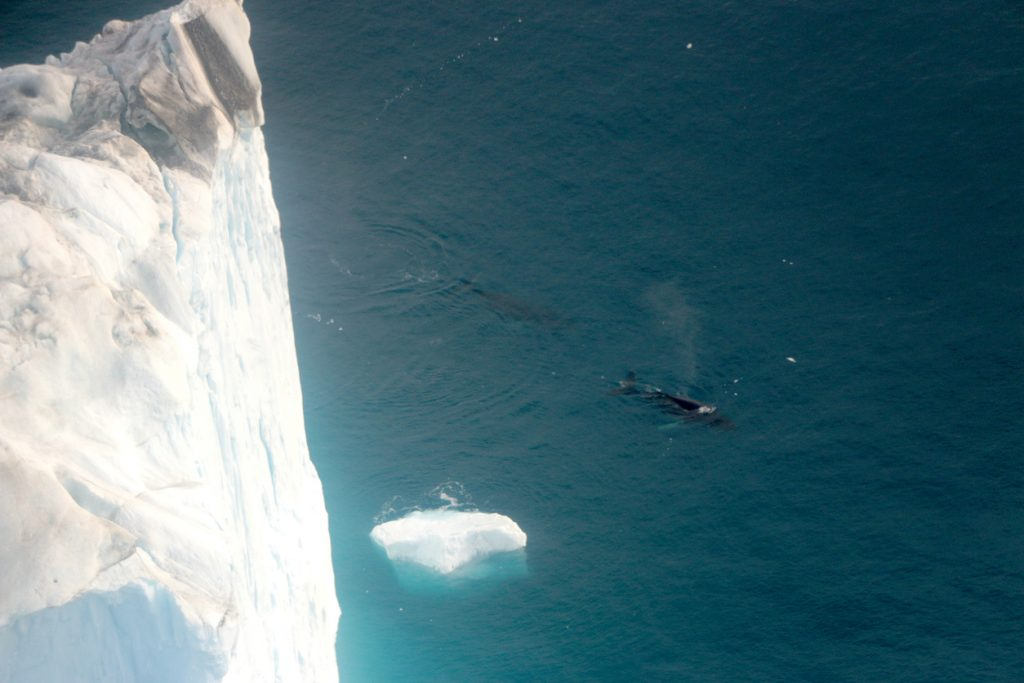 Dove vedere le balene in Islanda