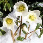 Elleboro: la rosa di inverno che ama il freddo