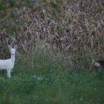 Il capriolo albino: una magica apparizione sulle Dolomiti